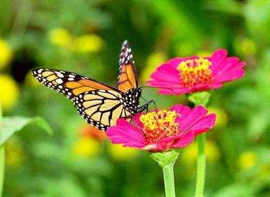 الفراشة والذبابه كلتاهما أنثى ]    800px-Monarch_on_San_Rafael_by_rburgoss_resize_resize