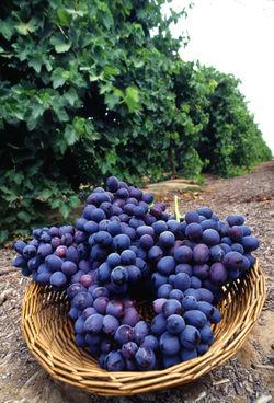 الإعجاز العلمي في تصميم مزارع الأعناب 1179546632250px-autumn_royal_grapes