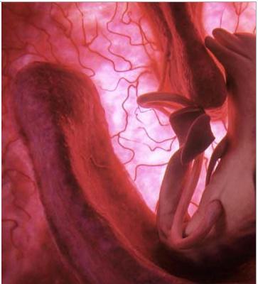 صور لأجنة حيوانية في الرحم