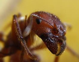 النمل 1181370225ant_head_closeup_resize