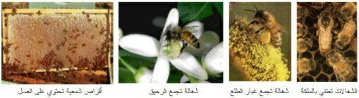 بطون الأنعام وبطون النحل 1205001851clip_3