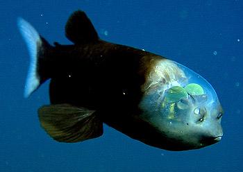 هذا خلق الله ... سمكة ذات رأس شفاف