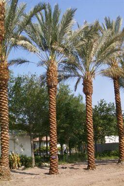 1244406221phoenix_dactylifera_medjool_palm