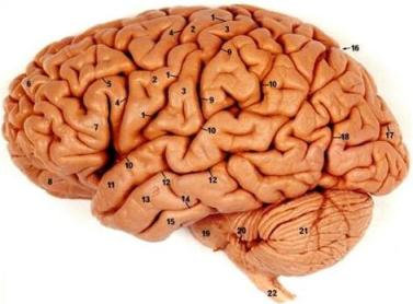 وفي أنفسـكم أفــلا تبصــرون ..الدماغ 12457153851