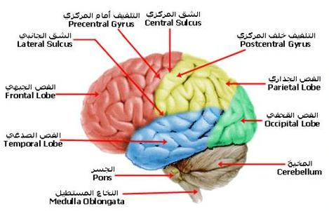 وفي أنفسـكم أفــلا تبصــرون ..الدماغ 12457154585