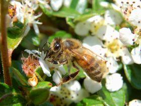 شغالة النحل تجمع الرحيق