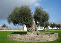شجرة الزيتون الشجرة المباركة