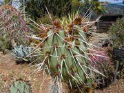 ولا الظل ولا الحرور 180px-Cactus1web.jpg