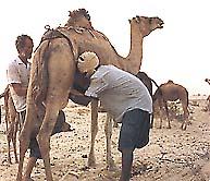 الإعجاز الإلهي في خلق الإبل Camel-milk2
