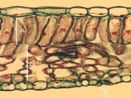 المعجزات الربانية في التركيب الداخلي للورقة النباتية