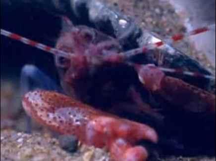 حيوان الروبيان  في أعماق البحر يصيد فرائسه بواسطة عضو مثل المسدس سبحان الله