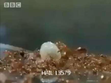 سبحان الله شوف كيف يعبر النمل نهر الامازون .....