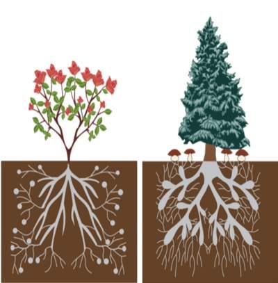 الآيات الربانية في التركيب الداخلي للجذور النباتية  13