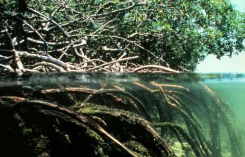 الآيات الربانية في التركيب الداخلي للجذور النباتية  Mangroves